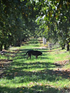 Starn-Family-Dog-Peach-Tour-Del Monte
