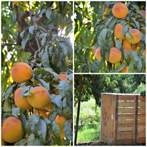 Starn Family Peach Orchard