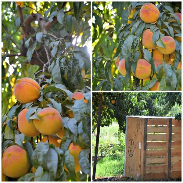 Starn Family Peach Orchard