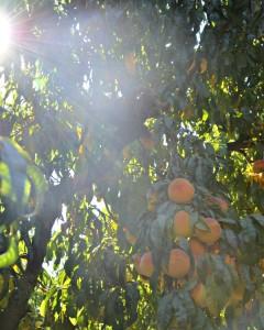 Strarn-Family-Peach-Orchard-Del Monte-Tour-2013